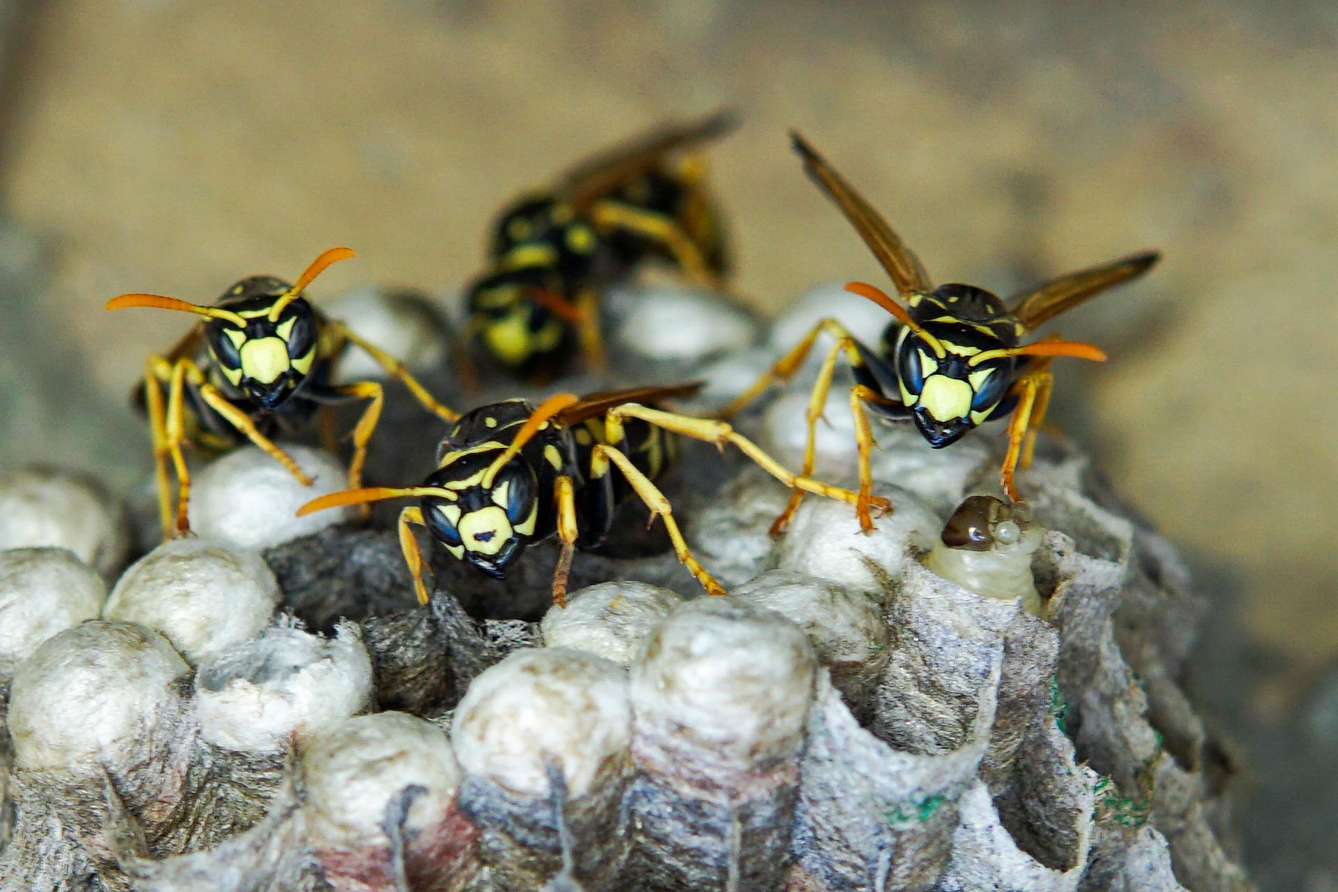 exterminateur nid de guepe Flayosc 83780