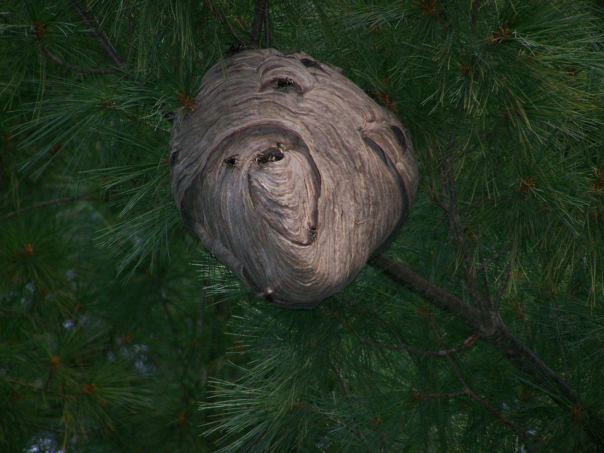 enlevement nid de frelon Carqueiranne 83320